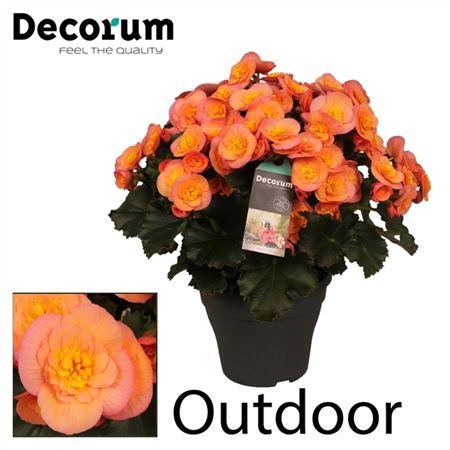 <h4>Begonia ''belove Peach'' Outdoor</h4>