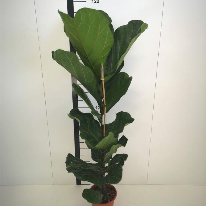 <h4>Ficus lyrata M17</h4>