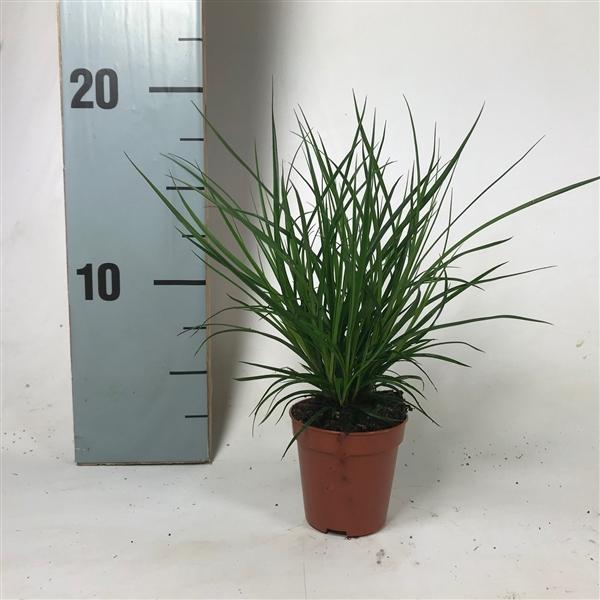 <h4>Carex brunnea p5,5</h4>