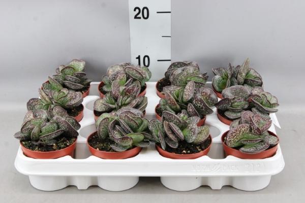 <h4>Adromischus maculatus</h4>
