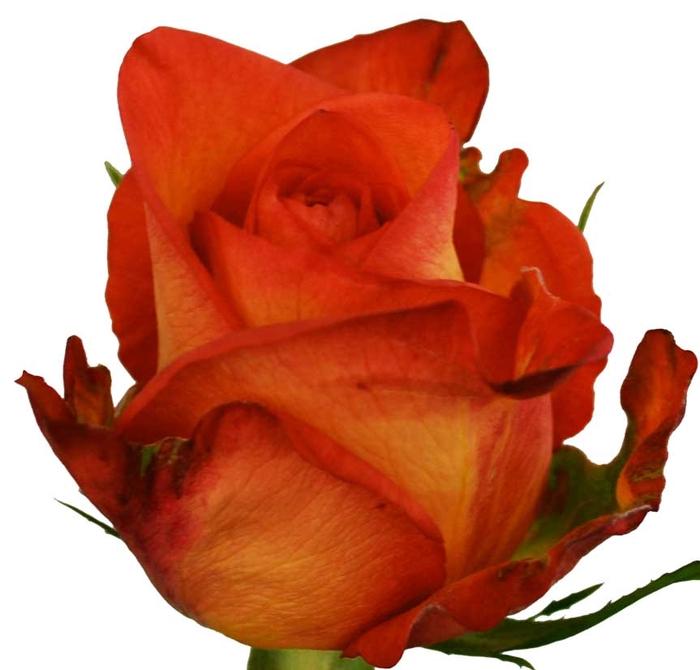 Rosa gr Skyfire (Nevado)