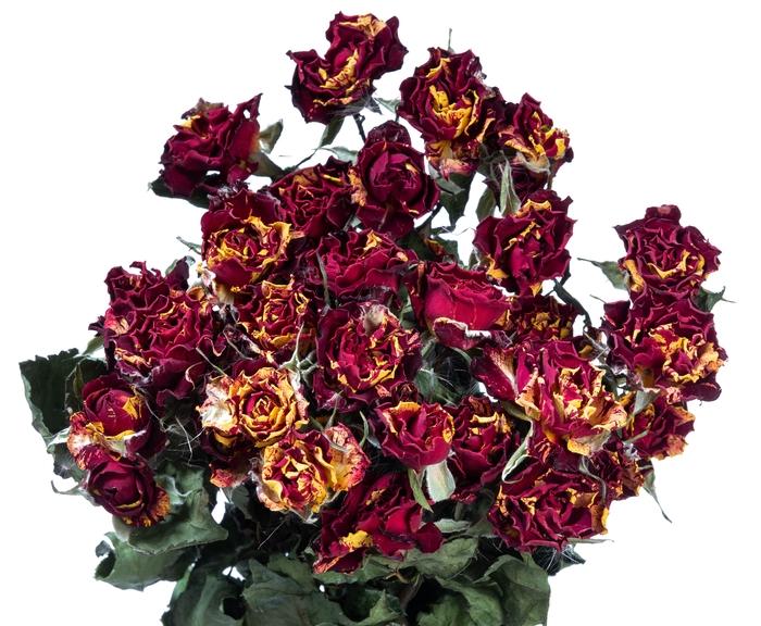 <h4>Dried Rosa tros Fire Flash</h4>