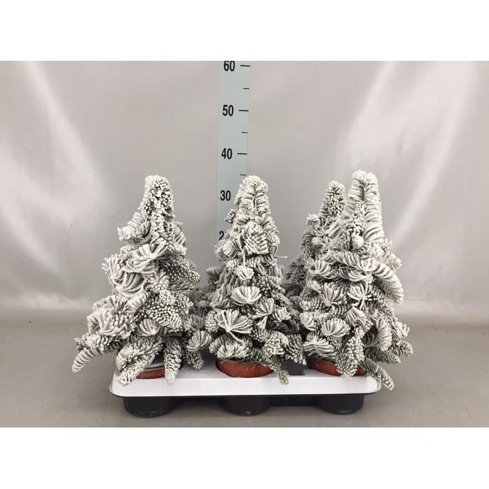 <h4>Kerstboom   ...paraffine H%</h4>