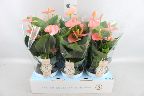 <h4>Anthurium andr. 'Spirit'</h4>