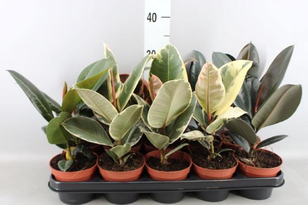 <h4>Ficus elastica   ...mix 4</h4>