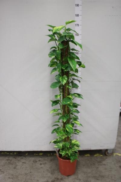 <h4>Epipremnum pinnatum   ...moss stick</h4>