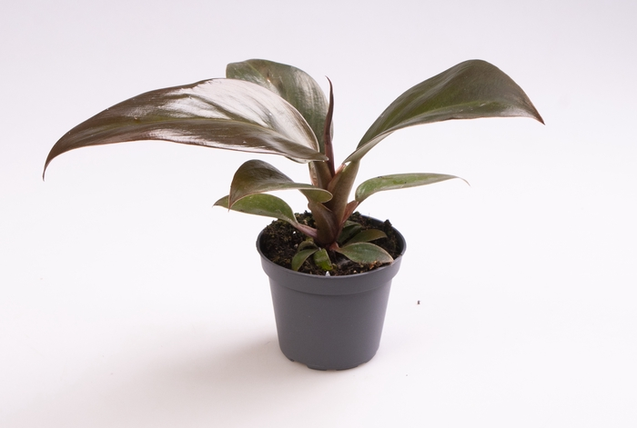 <h4>Philodendron Imperial Red 6Ø 15cm</h4>
