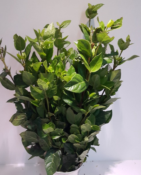 <h4>Greens - Viburnum</h4>