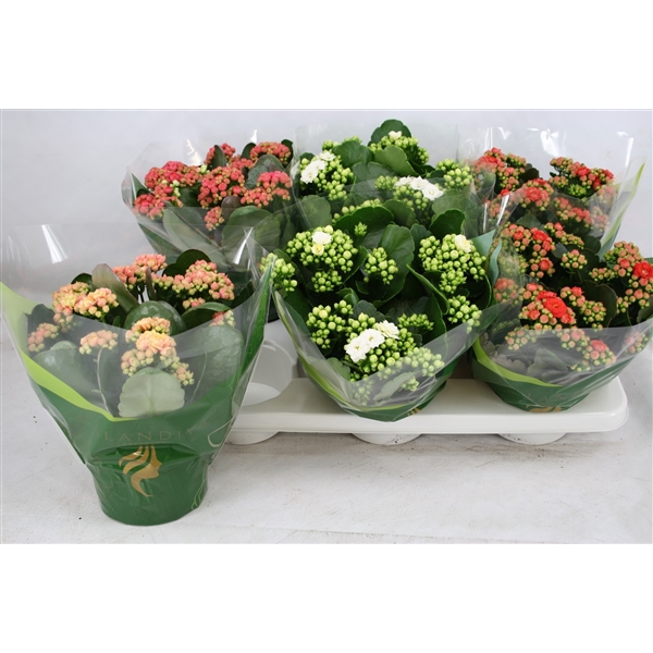 <h4>Kal. double grandiflora mix</h4>