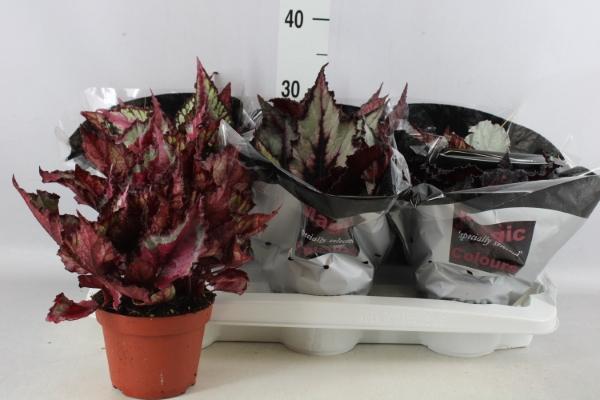 <h4>Begonia BD 'MagicColours'</h4>