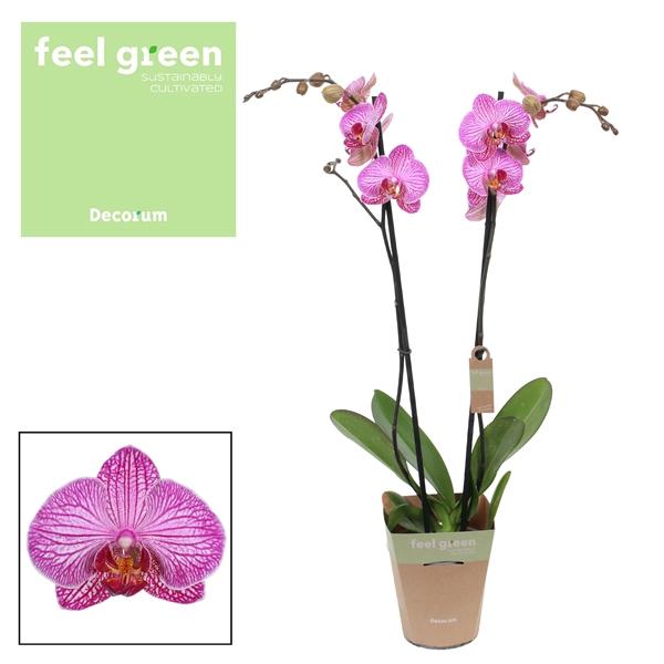 <h4>Phalaenopsis Flirtation</h4>