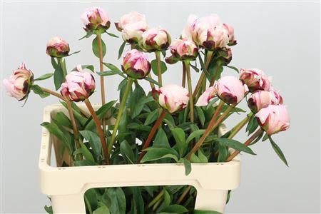 <h4>Paeonia Pillow Talk Light Pink</h4>