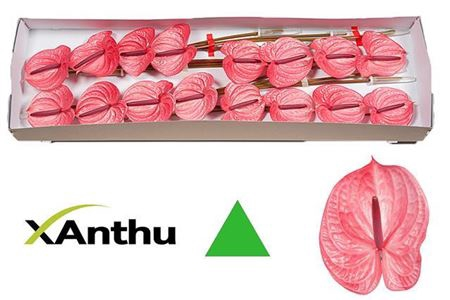 <h4>ANTH A CANDY X16</h4>