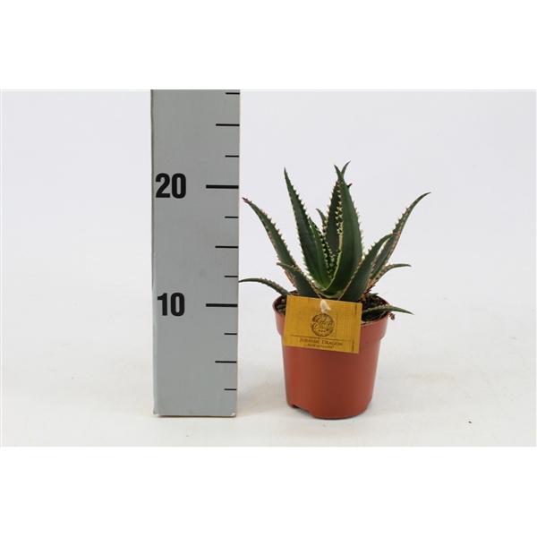 <h4>Aloe Aculeata 10,5cm</h4>