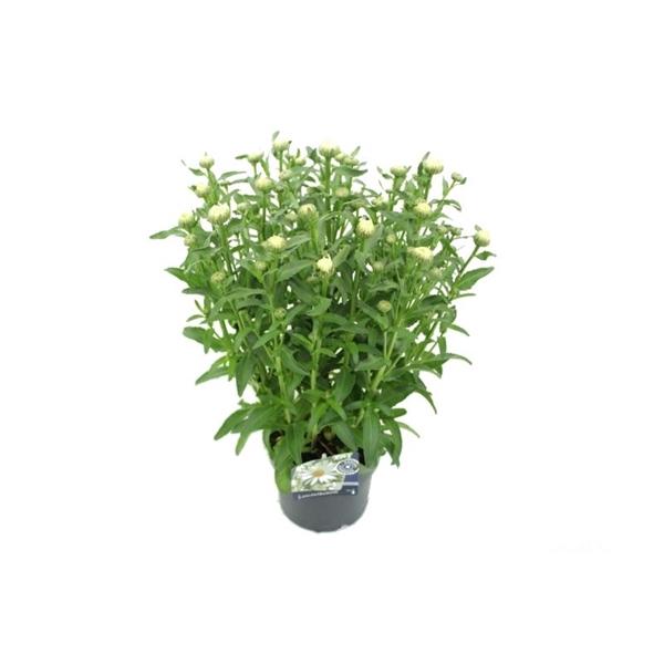 <h4>Leucanthemum Max. Lagrande</h4>