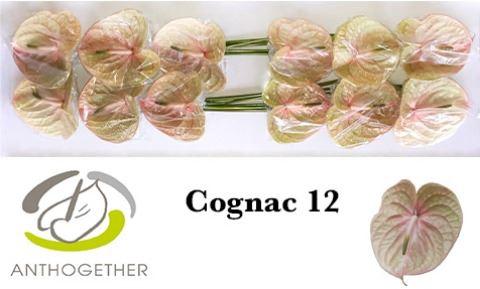 <h4>Anthurium Cognac</h4>