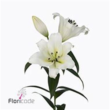 <h4>Lilium Oriental Forever 4/6</h4>