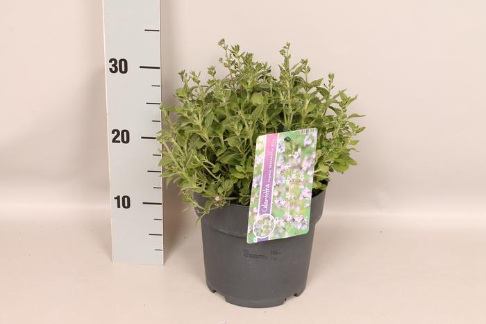 <h4>vaste planten 19 cm  Calamintha nepeta Marvelette Blue</h4>