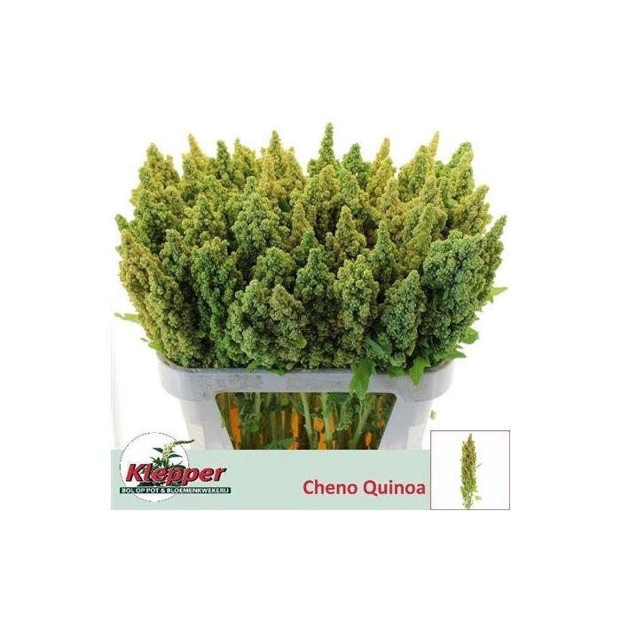 <h4>Cheno Quinoa Ov</h4>