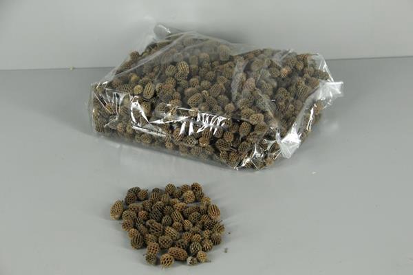 <h4>Casuarina Natural (1 Kg)</h4>