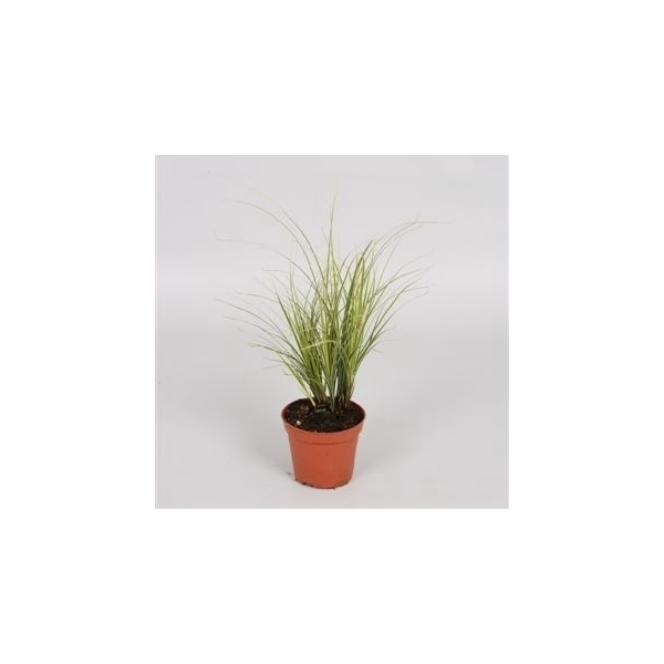 <h4>Carex brunnea Variegata</h4>