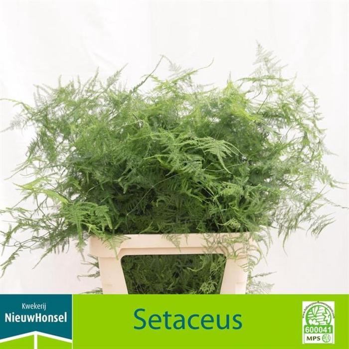 <h4>Asparagus Setac Lang Get</h4>