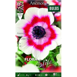 Z Anemone De Caen Bicolor