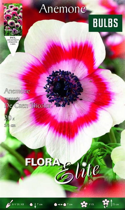 <h4>Z Anemone De Caen Bicolor</h4>