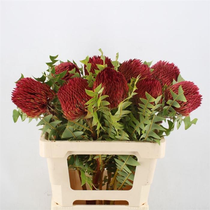 <h4>Banksia Baxteri Red</h4>