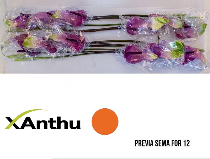 <h4>ANTH A PREVIA</h4>