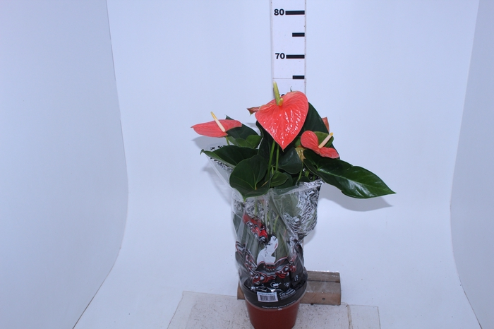 <h4>ANTHURIUM PRINCE OF ORANGE P19</h4>