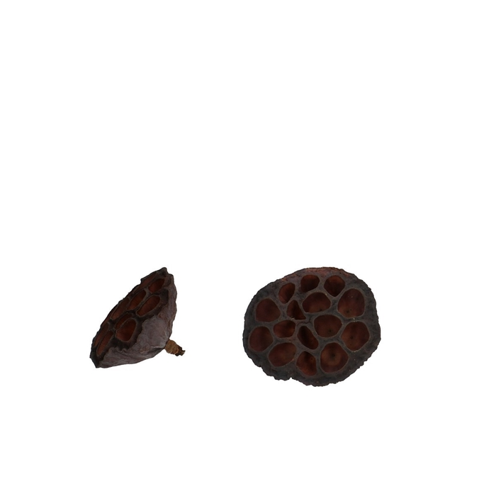 <h4>Droogvrucht Lotus d06/8cm x50</h4>