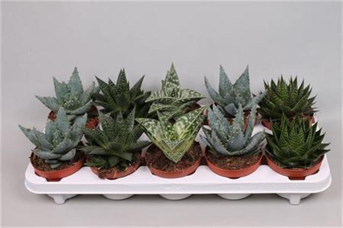 <h4>Aloe   ...mix</h4>