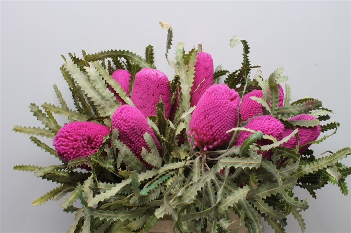 <h4>Banksia Prionotis Pink</h4>