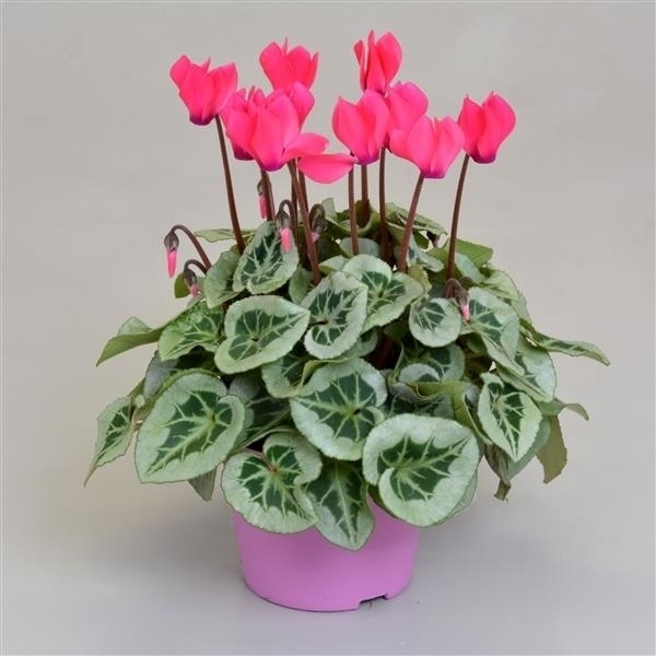 <h4>Cyclamen SS Picasso Roze</h4>