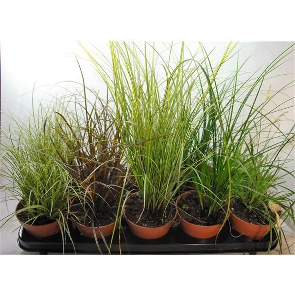 <h4>Carex gemengd p12</h4>