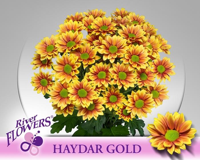 <h4>CHR T HAYDAR GOLD</h4>
