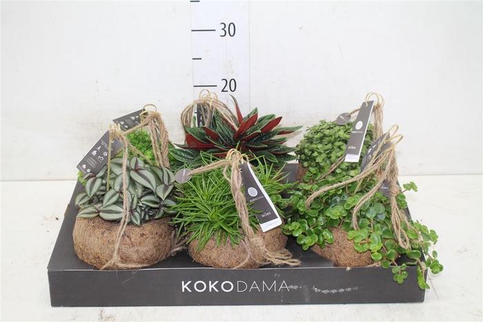 <h4>Kokodama Smit Mix</h4>