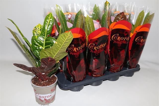 <h4>Codiaeum variegatum grootbladig 'Excellent' 13Ø 45cm</h4>