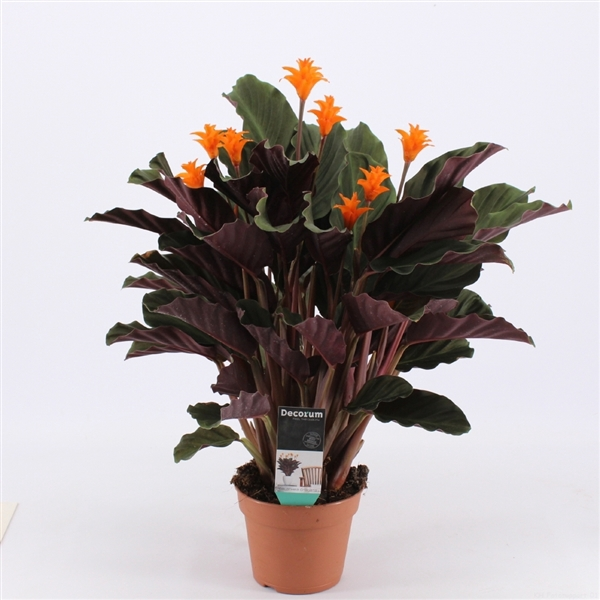 <h4>Calathea Crocata Candela 7/8 DECORUM</h4>