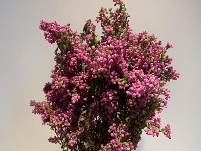 <h4>Erica Pink (Daphniflora)</h4>
