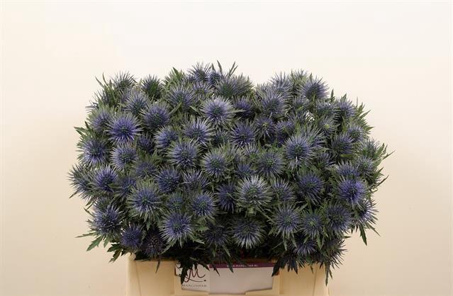 <h4>Eryngium Magnetar Questar</h4>