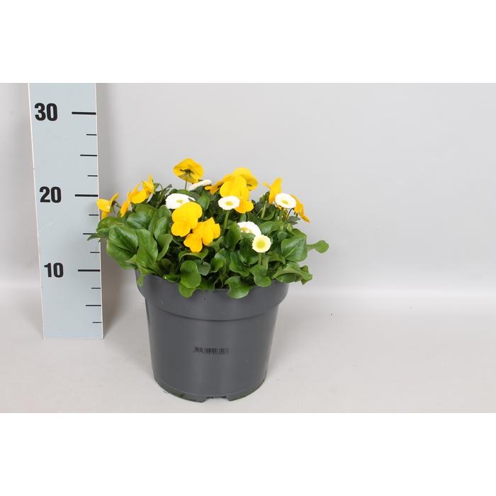 <h4>Viola Bellis 19 cm mix Yellow White</h4>