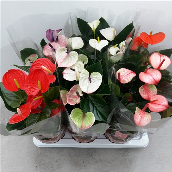 <h4>Anthurium mix</h4>