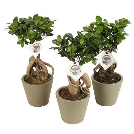 <h4>Ficus M. Ginseng Pot Ø12cm In Ø14cm Karla Kapern</h4>