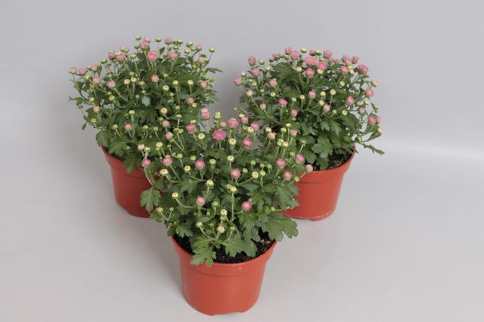 Potchrysant Pink