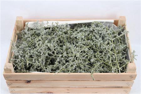 <h4>Wax Asparagus Green Olive P Box</h4>