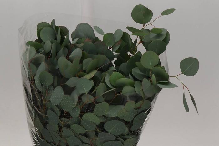 <h4>Eucalyptus Populus Knakeblad (P. Bos)</h4>