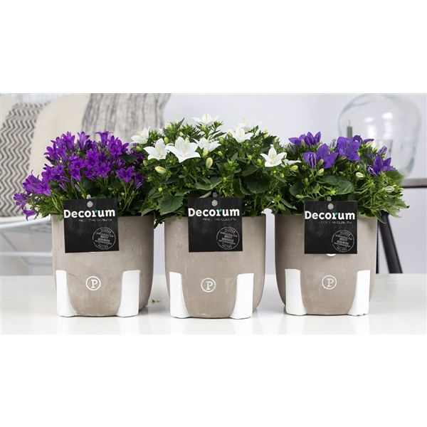 <h4>Campanula Mix Decorum Jade</h4>