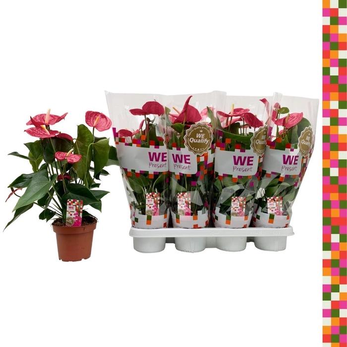 <h4>Anthurium andr. 'California'</h4>